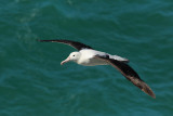 Royal Albatross.jpg