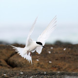 White Faced Tern 2.jpg