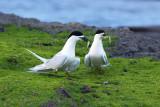 White-faced Tern 4.jpg