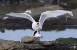 White-faced Tern 6.jpg