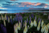 a Lake Tekapo lupines 21.jpg