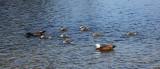 a Paradise Shell Ducks.jpg
