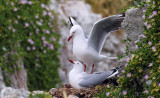 a Red-billed Seagulls.jpg