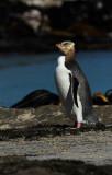 a Yellow-eyed Penguin 2.jpg