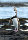 a Yellow-eyed Penguin 3.jpg