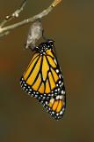 Monarch Butterfly31.jpg