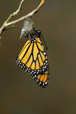 Monarch Butterfly30.jpg