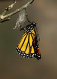 Monarch Butterfly29.jpg