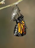 Monarch Butterfly28.jpg