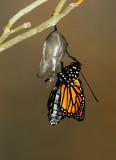 Monarch Butterfly27.jpg