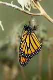 Monarch Butterfly26.jpg