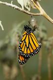Monarch Butterfly25.jpg