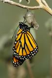Monarch Butterfly24.jpg