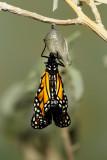 Monarch Butterfly23.jpg