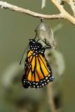 Monarch Butterfly22.jpg