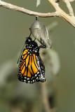 Monarch Butterfly21.jpg