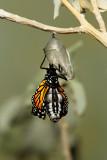 Monarch Butterfly20.jpg