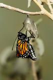 Monarch Butterfly19.jpg
