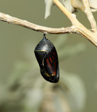 Monarch Butterfly18.jpg