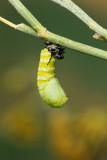 Monarch Butterfly10.jpg