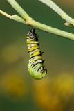 Monarch Butterfly06.jpg