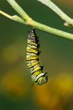Monarch Butterfly05.jpg