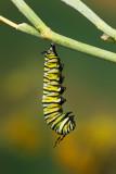 Monarch Butterfly04.jpg
