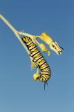 Monarch Butterfly03.jpg