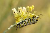 Monarch Butterfly02.jpg