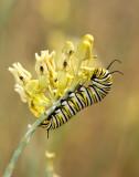 Monarch Butterfly01.jpg