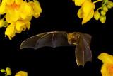 Artibeus jamaicensis_07761.JPG
