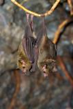 Lava tube bats02.jpg