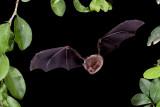 Pteronotus parnellii_109951.JPG