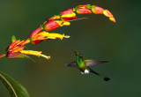 Booted Racket-tail.jpg