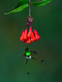 Booted Racket-tail 2.jpg