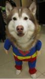Super Dog ~ Husky White Socks