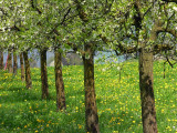 apple trees in early spring