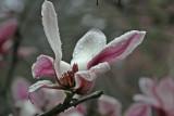 Magnolia in the rain