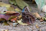 Common Morpho, Black Rock, Belize
