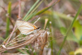 Veined White Skipper, Crooked Tree, Belize