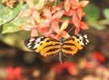 Eueides Butterfly , Ecuador
