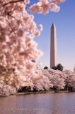 Cherry Blossoms at the Tidal Basin #4