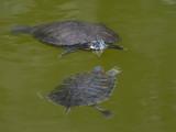 Big Turtle Little Turtle