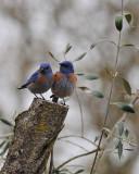 Two Blubirds