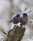 Two Bluebirds - 8x10