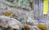Warbler and Bluebird