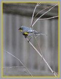 Warbler on a Twig