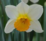 Symmetrical Daffodil