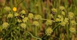 Lace Parsnip with Boxelder Beetles