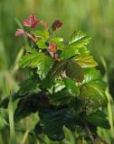 Poison Oak in Bloom